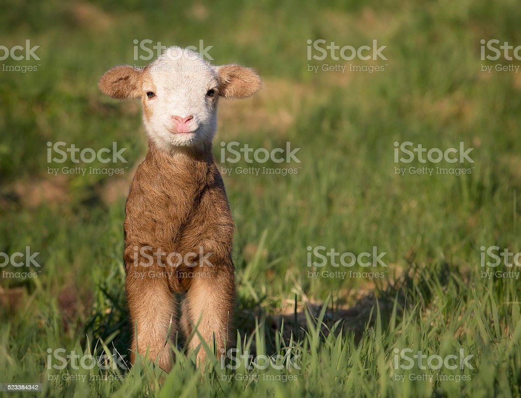 Baby lamb stock photo