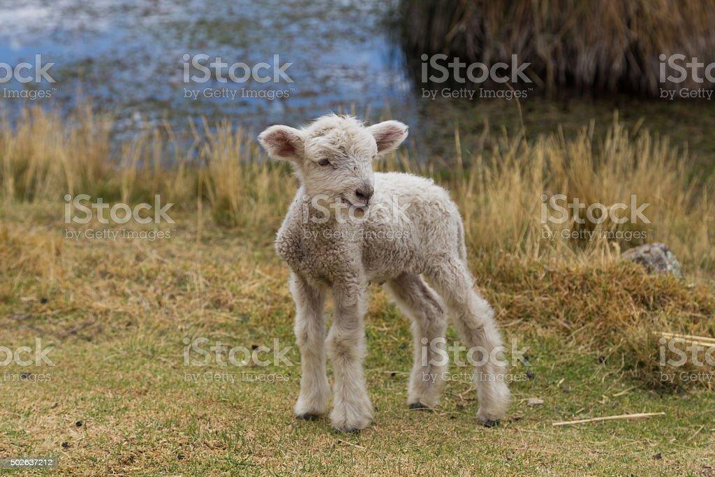 Baby lamb standing stock photo