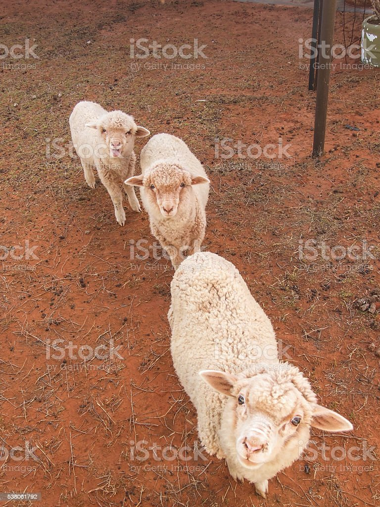 Baby lambs in desert waiting for food stock photo
