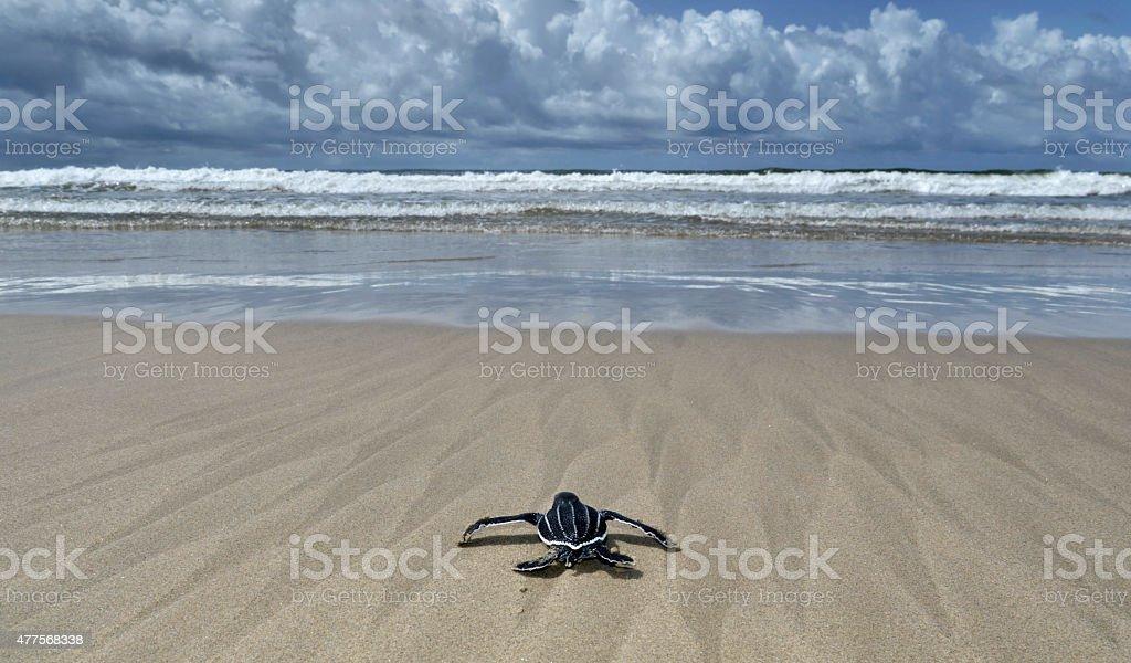 Baby leatherback turtle stock photo