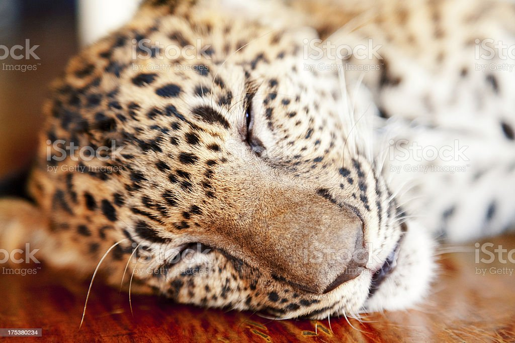 Baby leopard in Thailand royalty-free stock photo