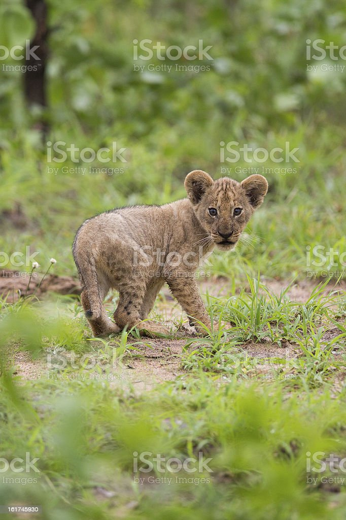 Baby lion cub in the wild royalty-free stock photo