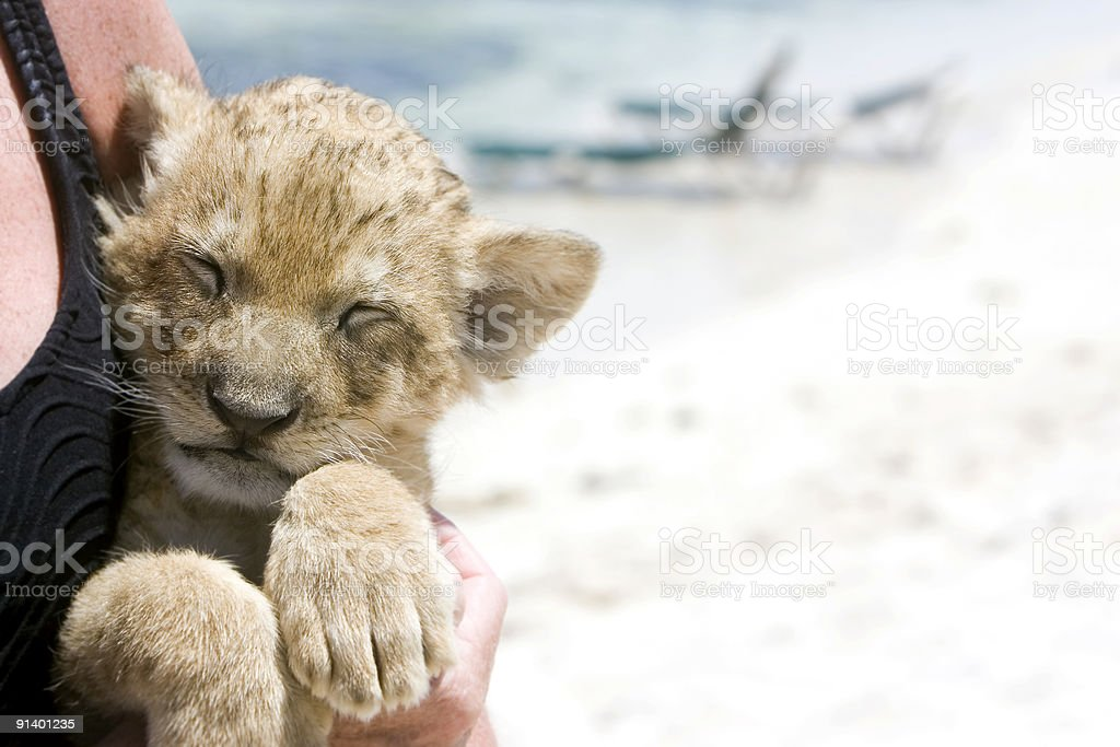 Baby Lion Cub on Beach, Copy Space royalty-free stock photo