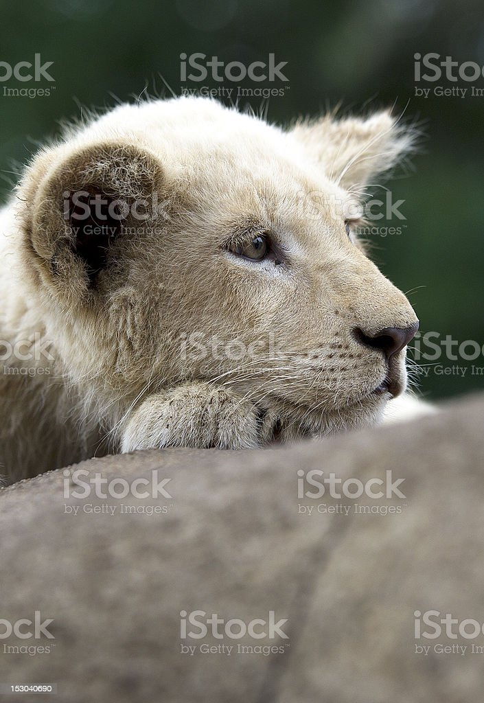 Baby Lion royalty-free stock photo