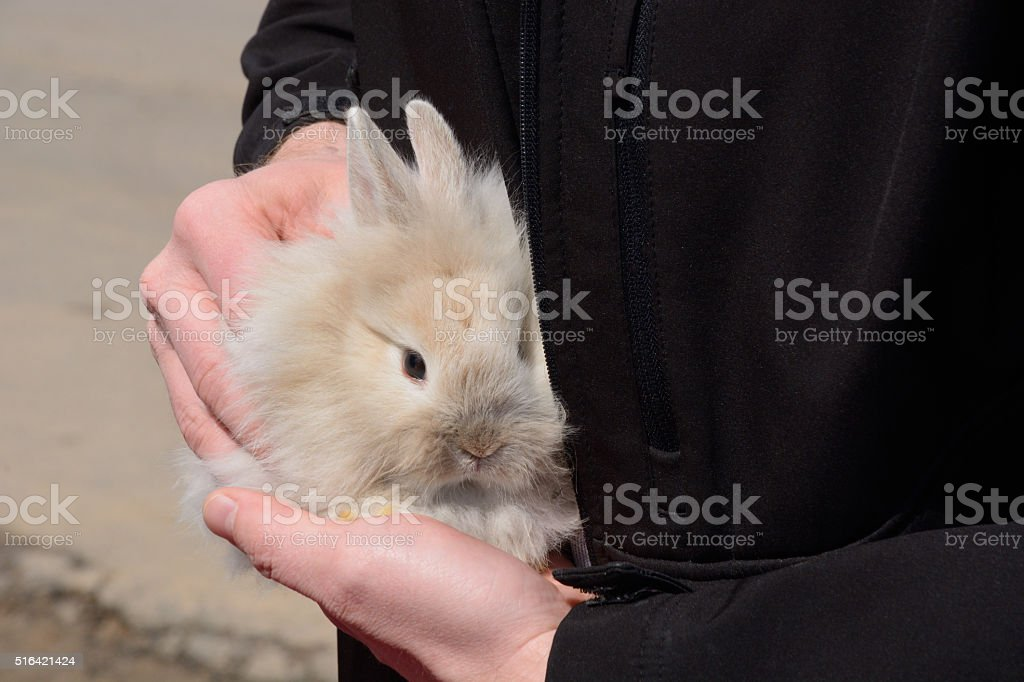 Baby Lionhead Rabbit stock photo