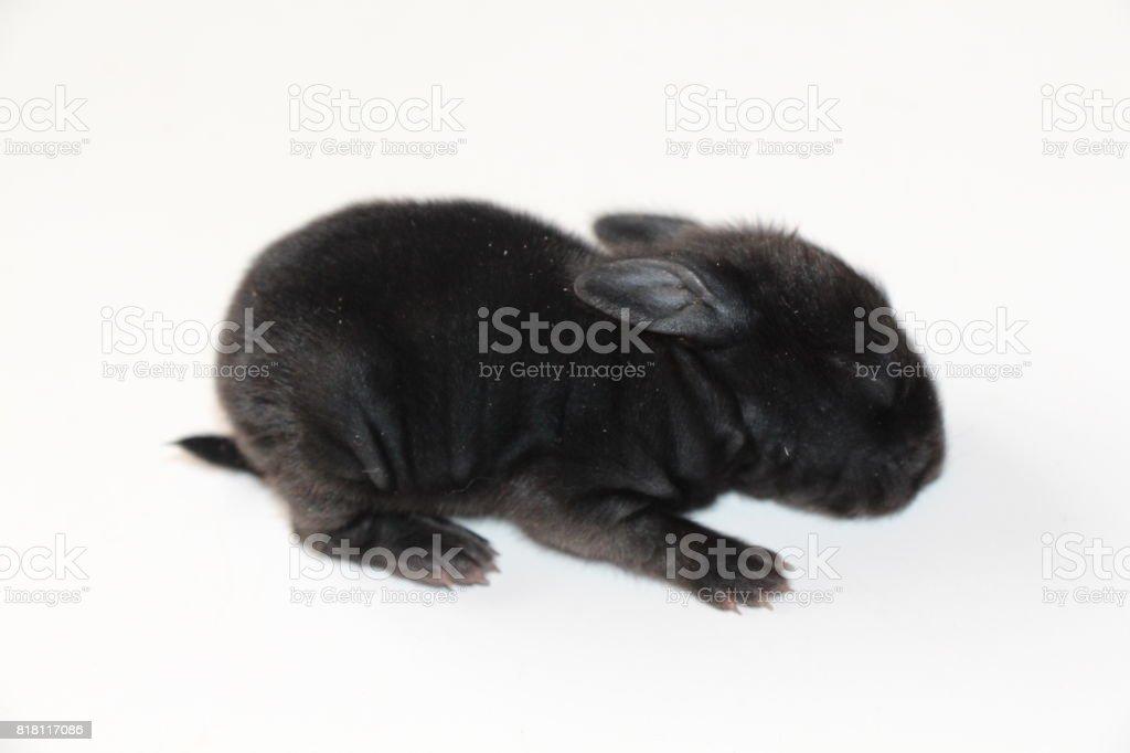 Baby Lionhead Rabbit stock photo