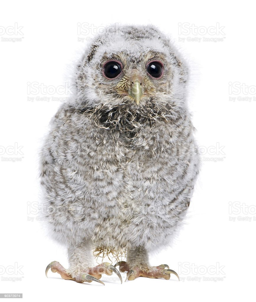 baby Little Owl - Athene noctua (4 weeks old) royalty-free stock photo