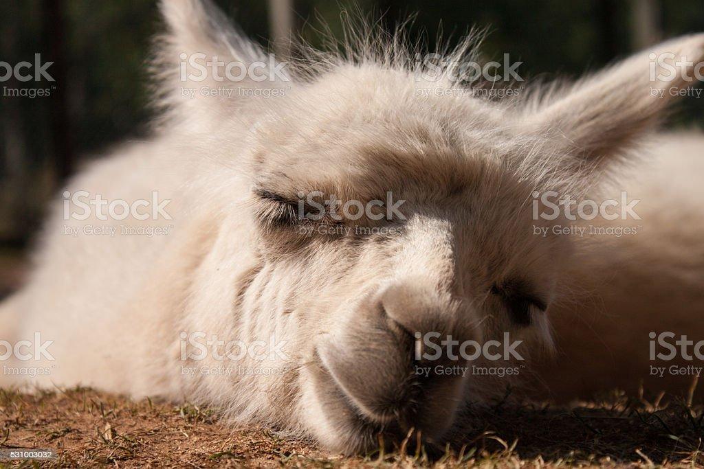 Baby Llama Sleeping stock photo