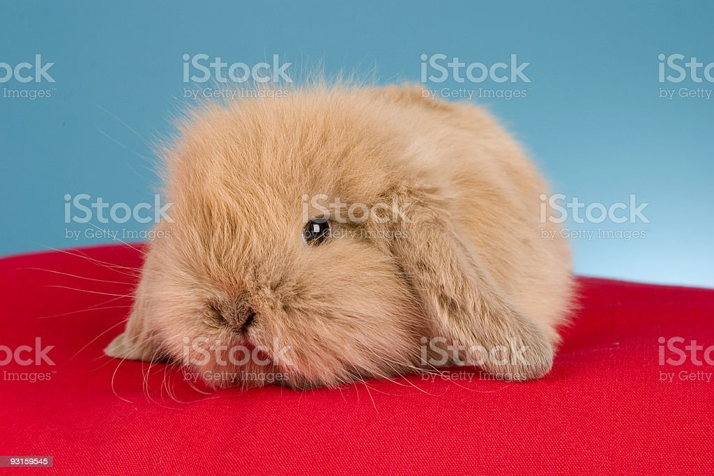 Baby Lop royalty-free stock photo