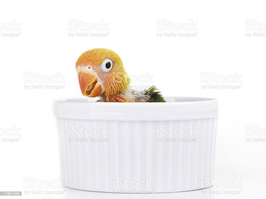 Baby lovebird royalty-free stock photo