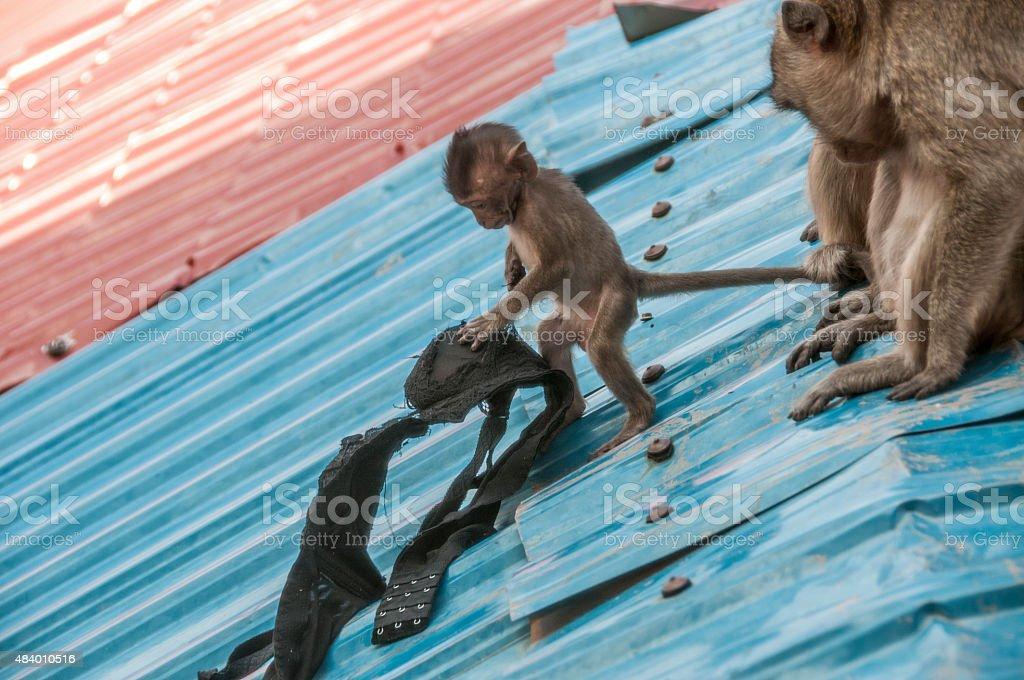 Baby Macaque Monkeys stock photo