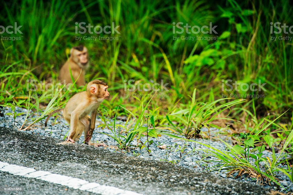 Baby Macaque Monkies Roadside in Khao Yai National Park Thailand stock photo