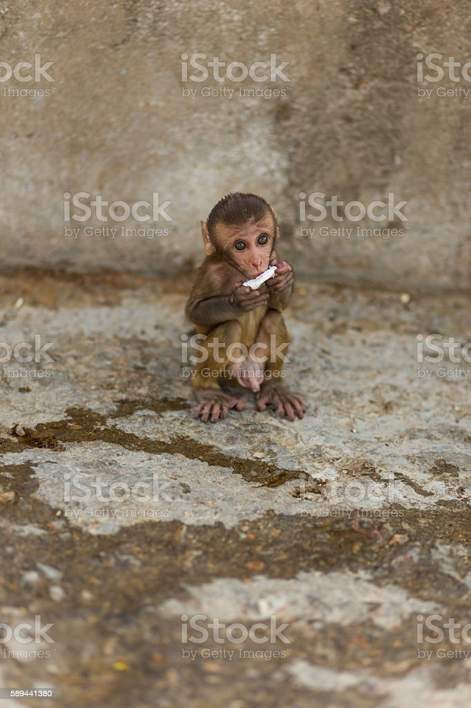 Baby macaque stock photo