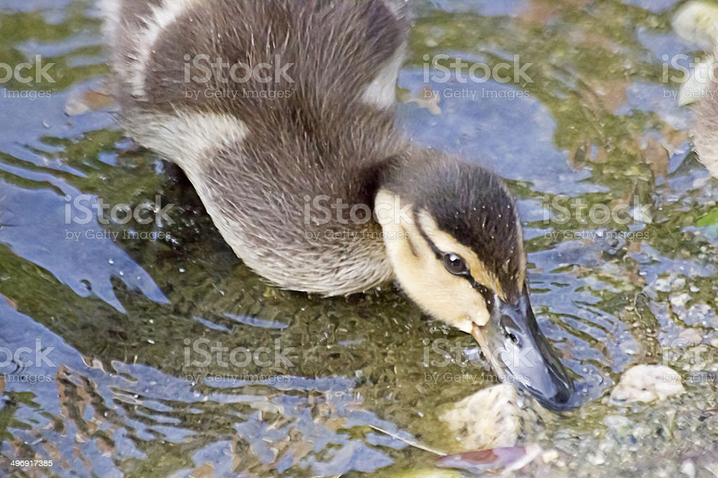Baby Mallard stock photo