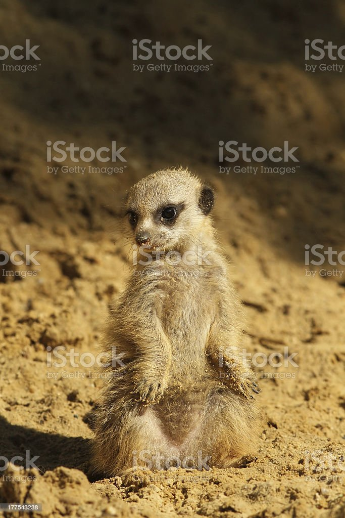 Baby meerkat royalty-free stock photo
