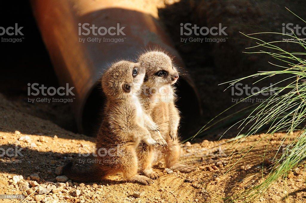 Baby Meerkats. royalty-free stock photo
