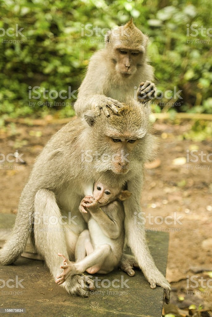 Baby monkey and mother royalty-free stock photo