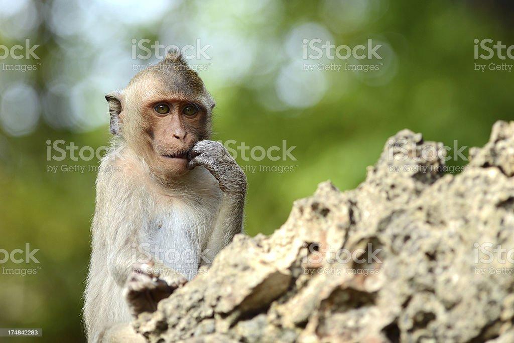 Baby Monkey biting nails royalty-free stock photo