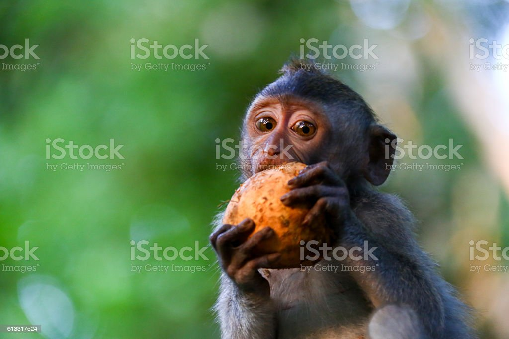 Baby Monkey eating stock photo