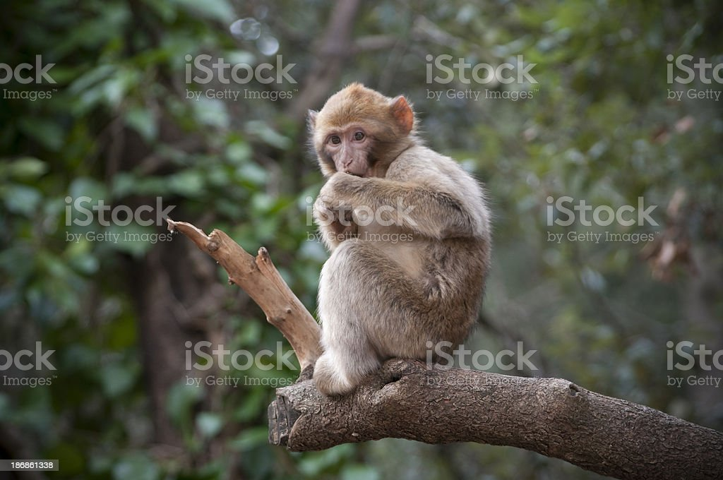 Baby monkey Macaque Sylvana in North Africa forest stock photo