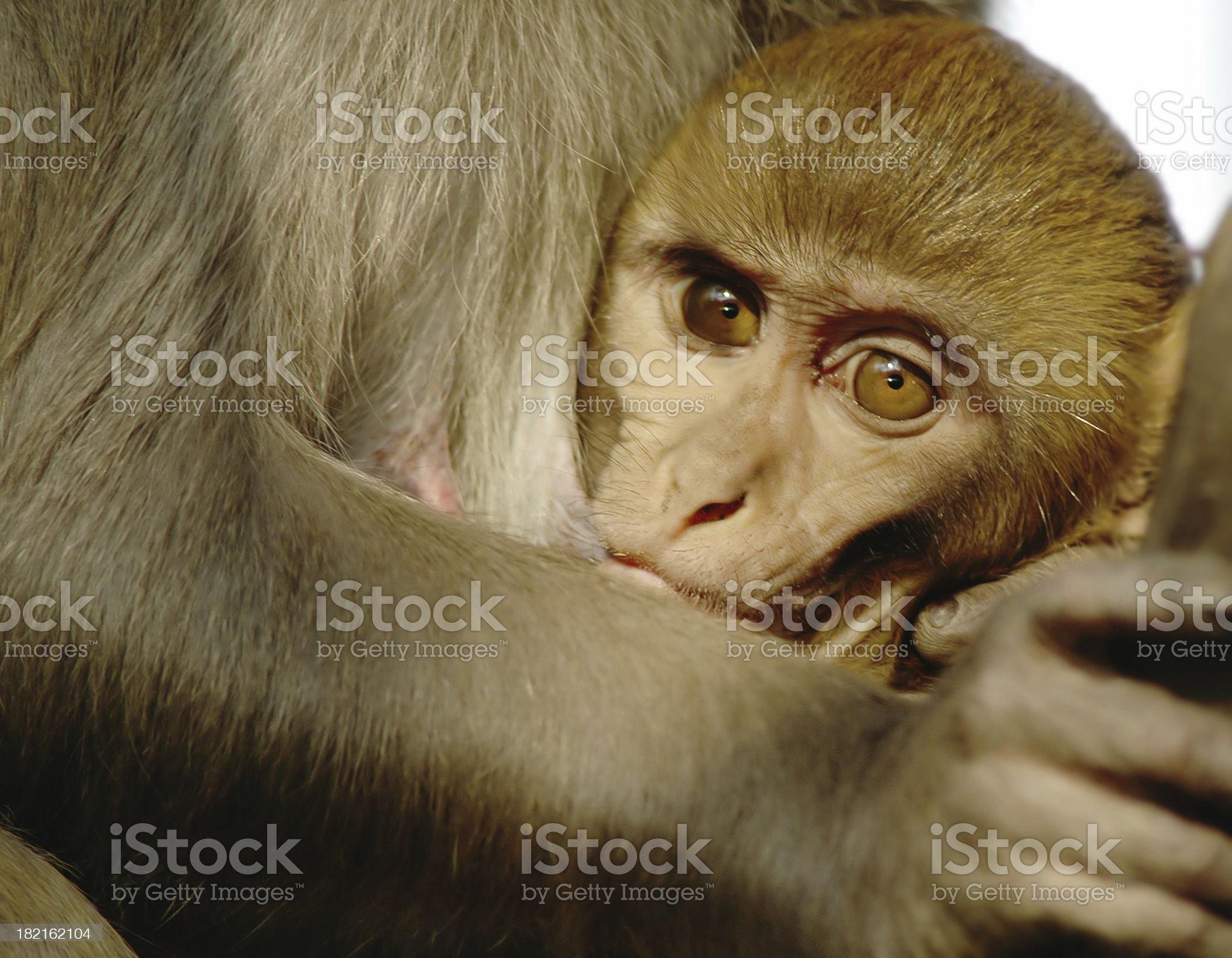 Baby Monkey royalty-free stock photo