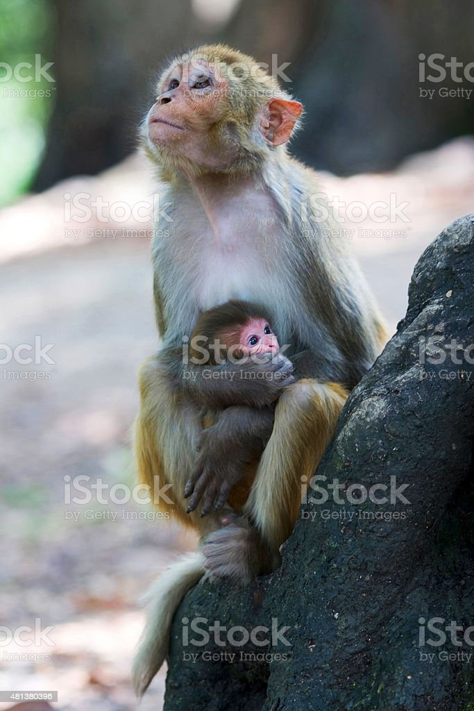 Baby monkey with her mother stock photo