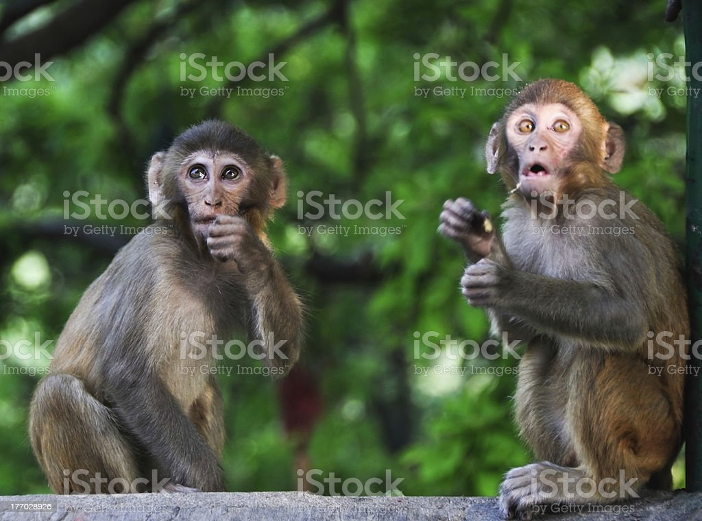 Baby monkeys royalty-free stock photo