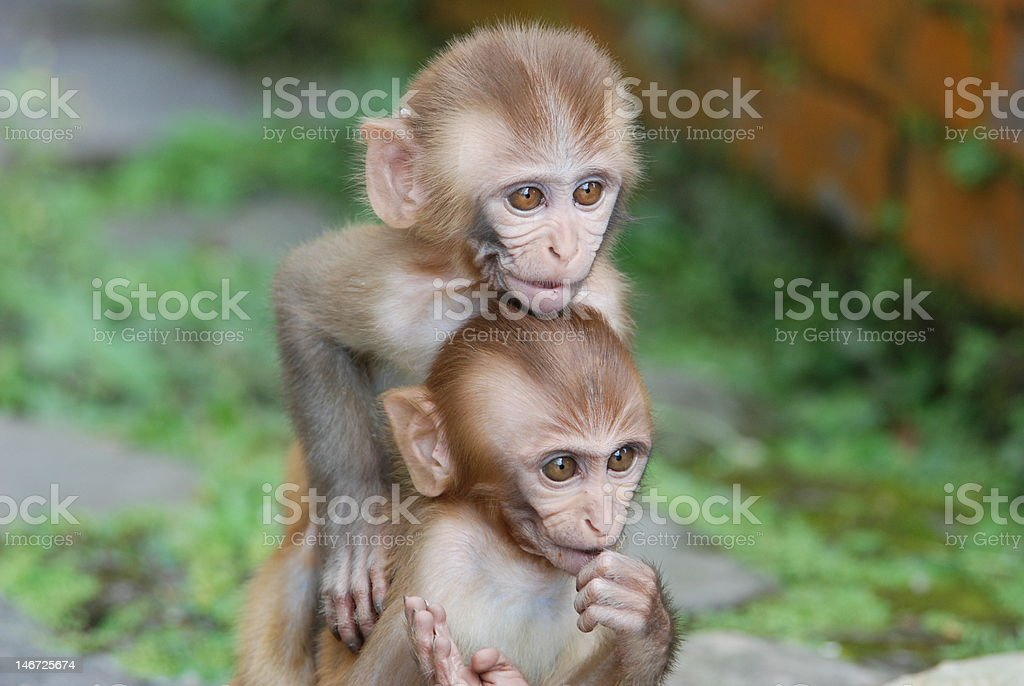Baby Monkeys Watching royalty-free stock photo