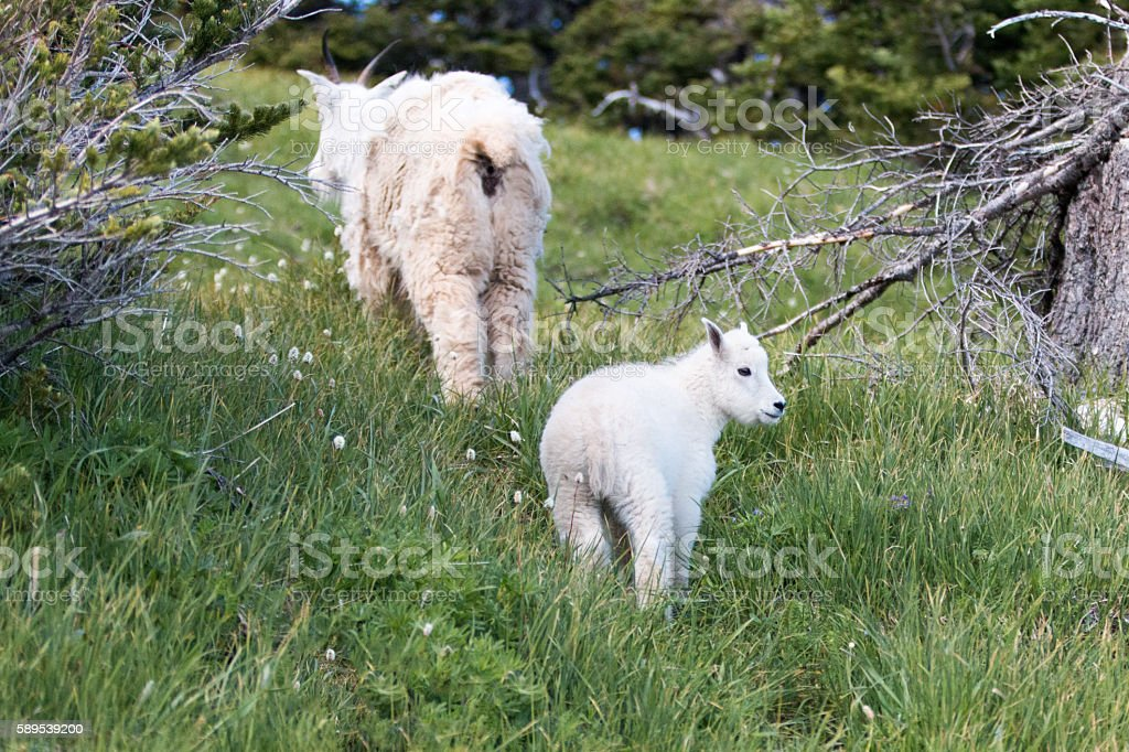 Baby Mountain Goat and Nanny Mother Goat climbing grassy knoll stock photo