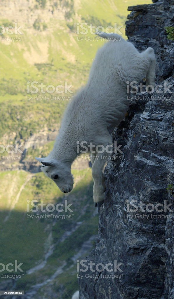 Baby Mountain Goat Billy Jumping Off Mountain stock photo
