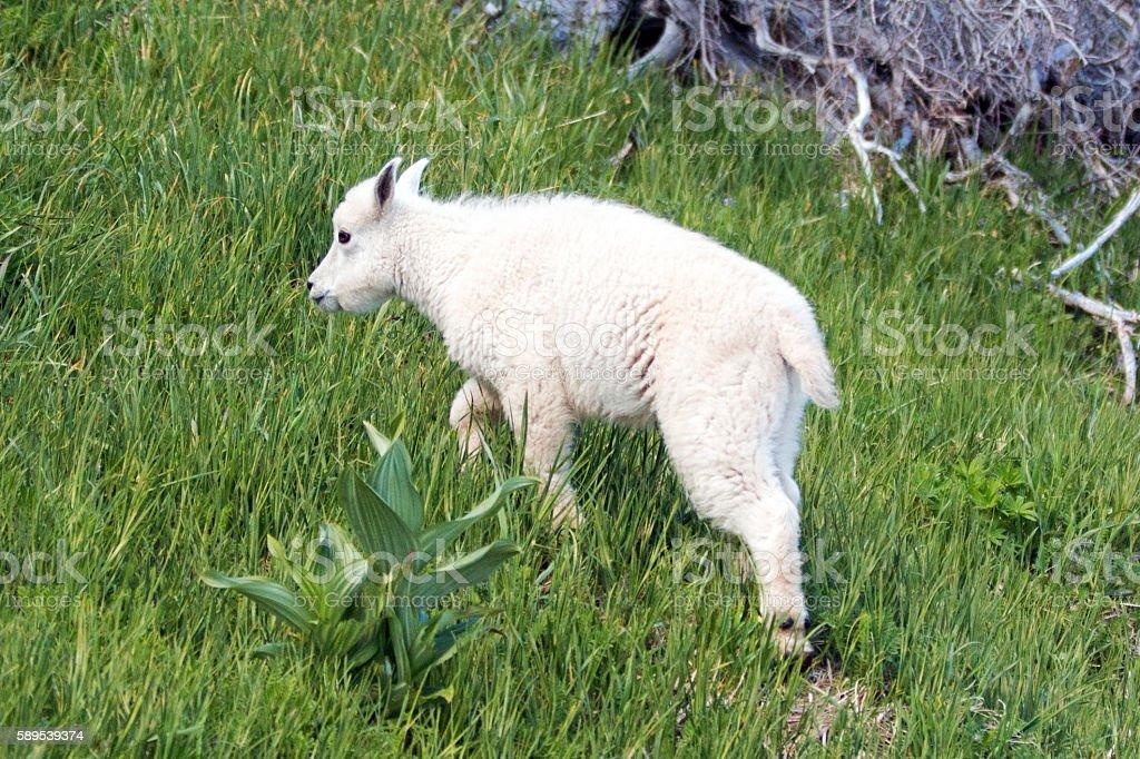 Baby Mountain Goat climbing grassy knoll on Hurricane Ridge USA stock photo