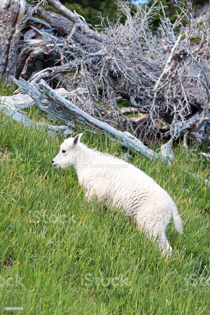Baby Mountain Goat climbing up grassy knoll stock photo