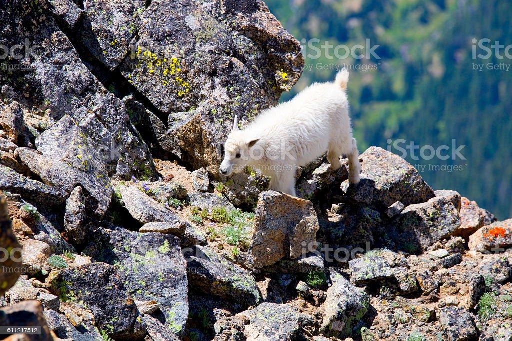 Baby Mountain Goat on  Mount Massive Colorado stock photo