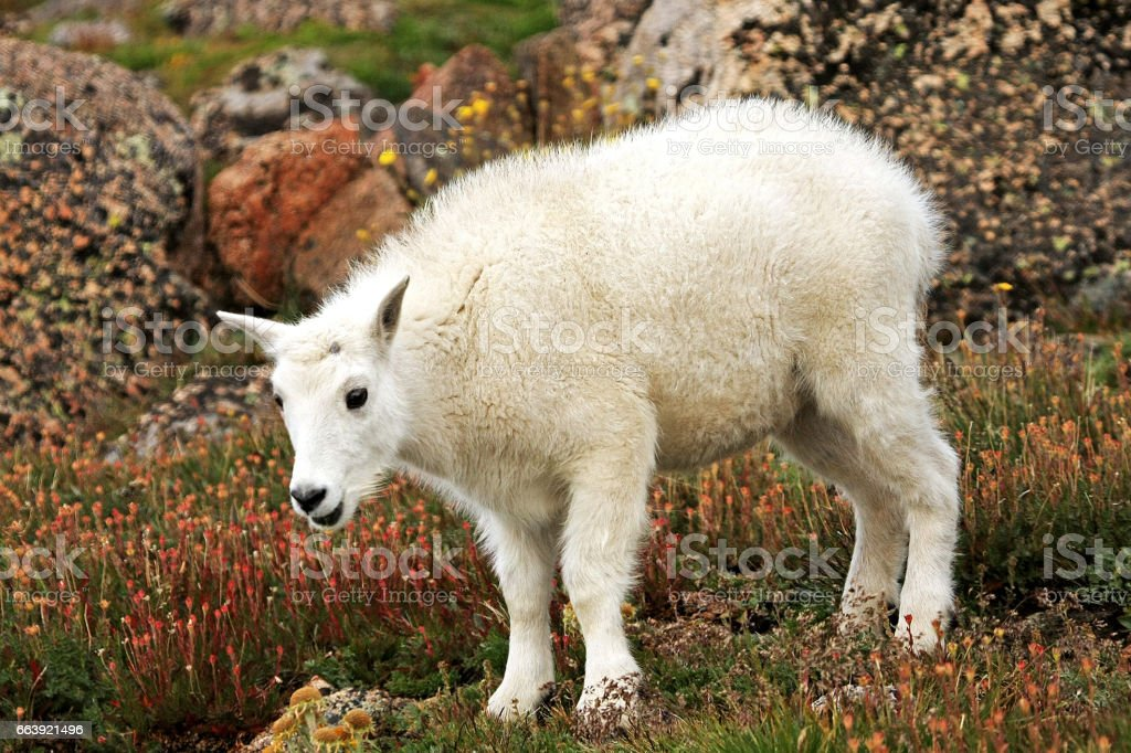 Baby Mountain Goat on Mt. Evans stock photo