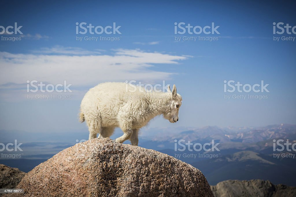 Baby mountain goat on top of  Mt Evans royalty-free stock photo