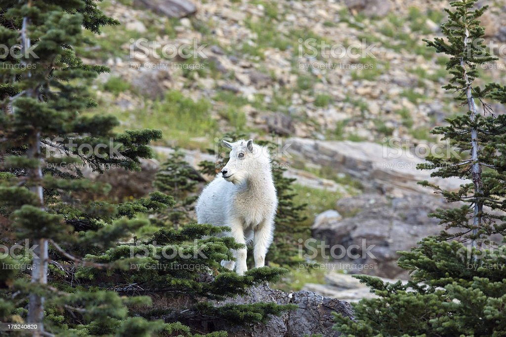 Baby Mountain Goat royalty-free stock photo