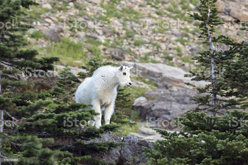 Baby Mountain Goat royalty-free stock photo