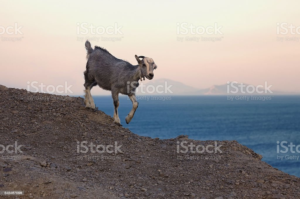 Baby mountain goat running on the hillside stock photo