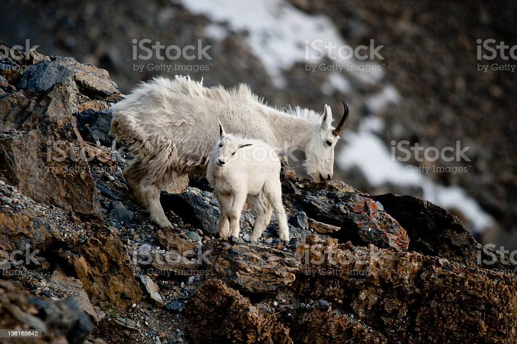 Baby Mountain Goat with Mother on Rocky Ridge stock photo