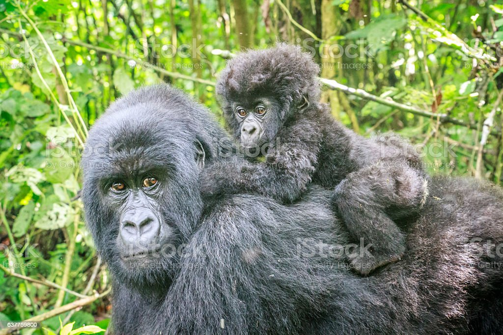 Baby Mountain gorilla on the back of his mother. stock photo