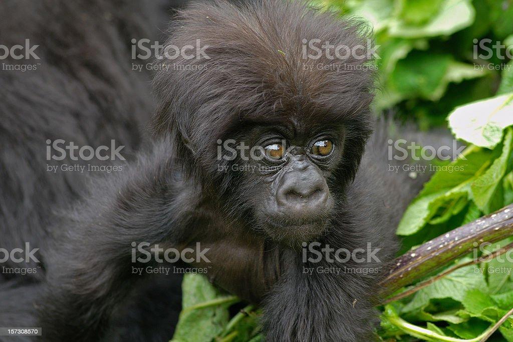 Baby Mountain Gorilla royalty-free stock photo