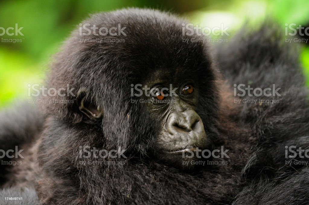 Baby Mountain Gorilla with Mother royalty-free stock photo