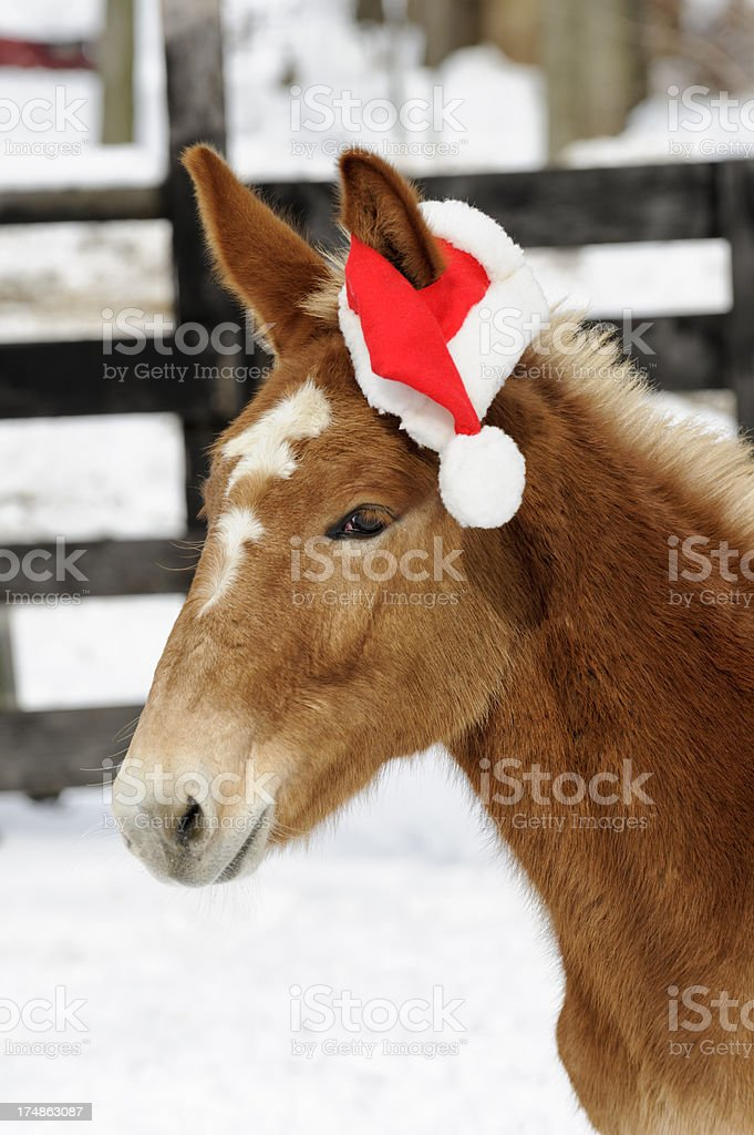 Baby Mule in Santa Hat and Snow for Christmas royalty-free stock photo