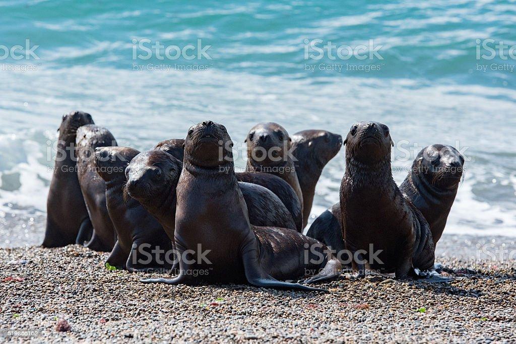 baby newborn sea lion on the beach stock photo