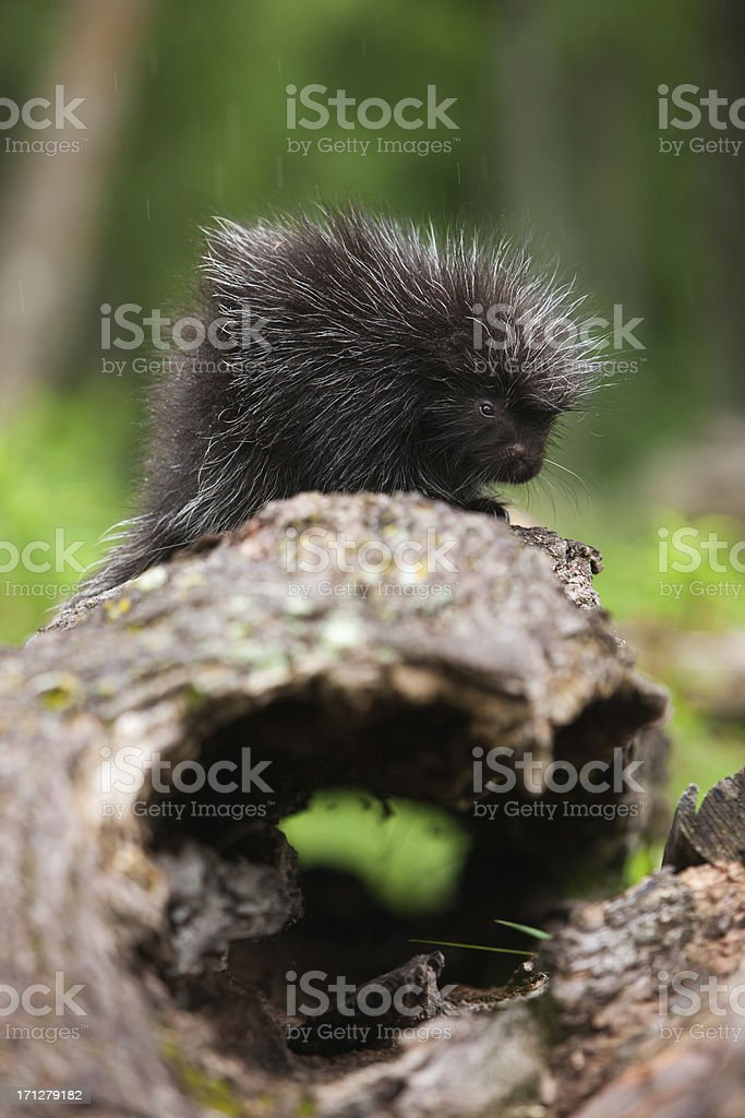 Baby North American porcupine on log. stock photo