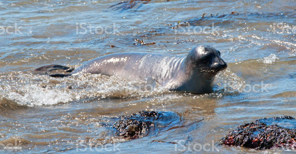 Baby Northern Elephant Seal at Piedras Blancas Elephant Seal colony on the Central Coast of California USA stock photo