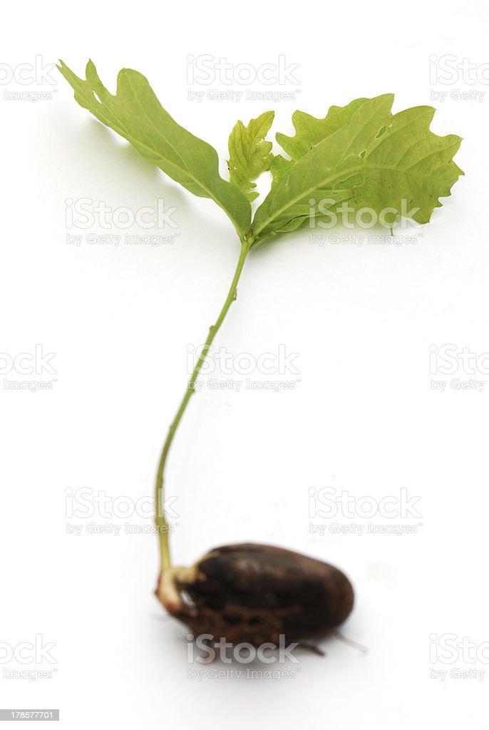 Baby Oak from acorn royalty-free stock photo