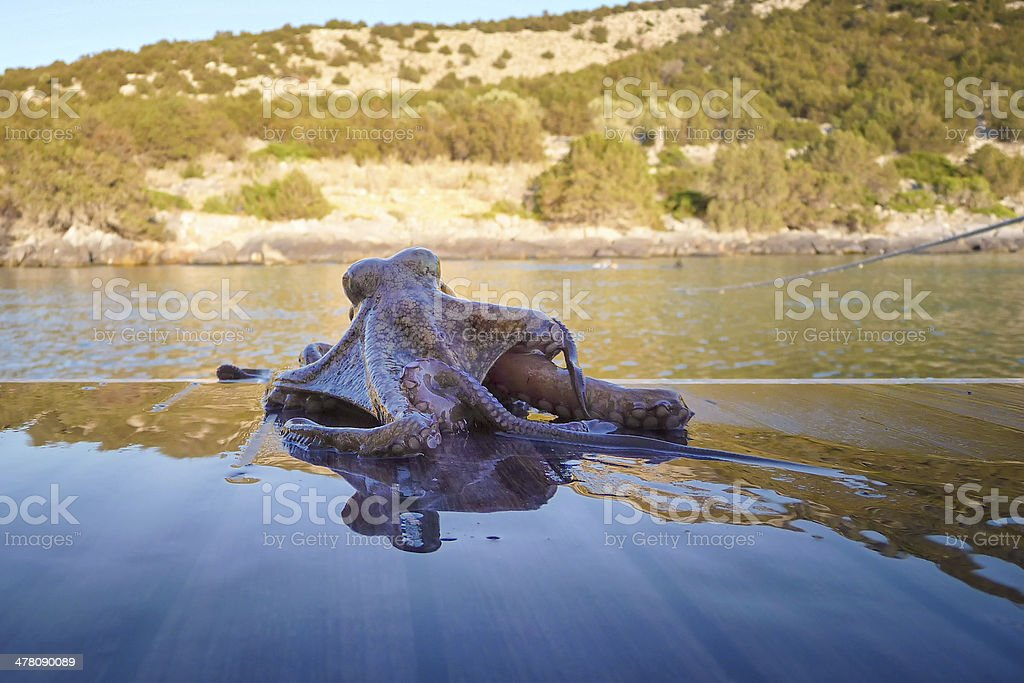 Baby octopus royalty-free stock photo