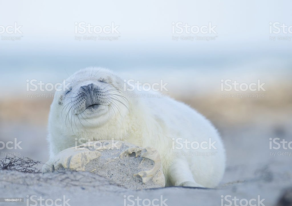 Baby of a grey seal (Halichoerus grypus) royalty-free stock photo