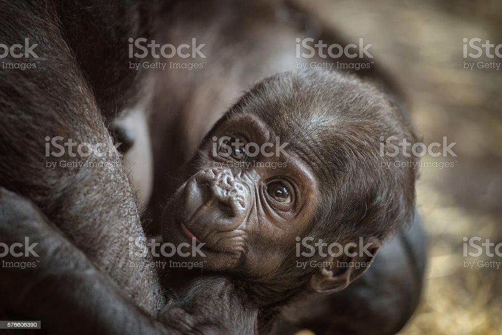 Baby of a  Western lowland gorilla stock photo